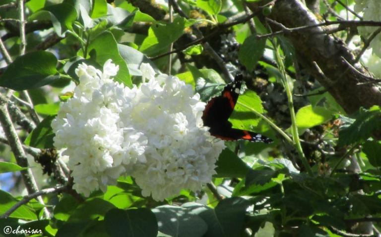 Lilas-Papillon