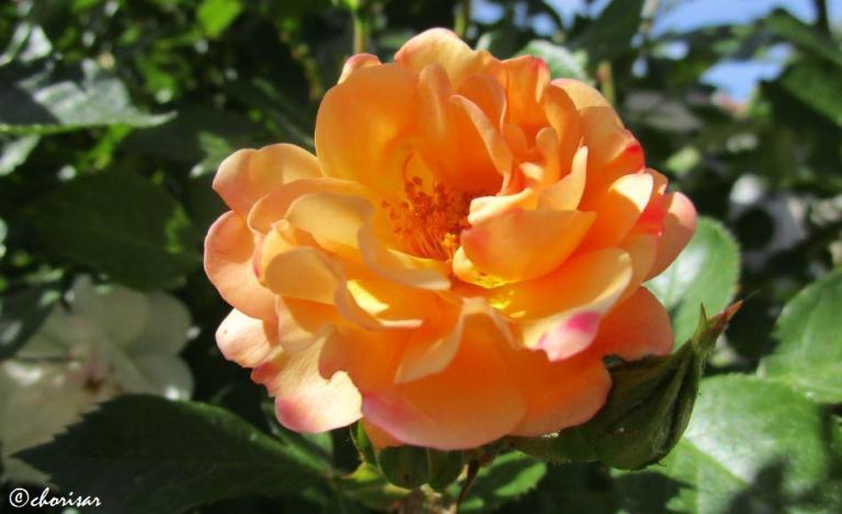 Rose~Orange